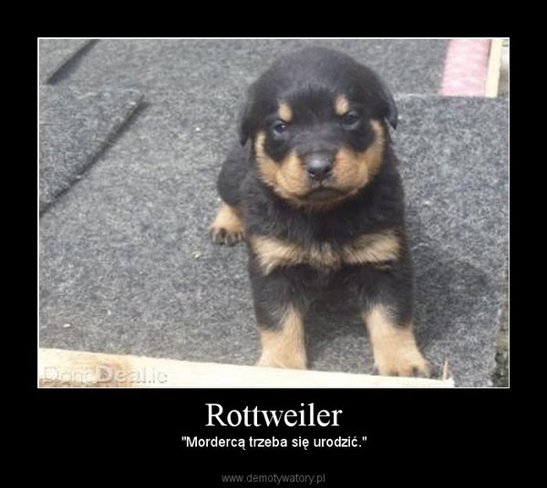 """Rottweiler – """"Mordercą trzeba się urodzić."""""""