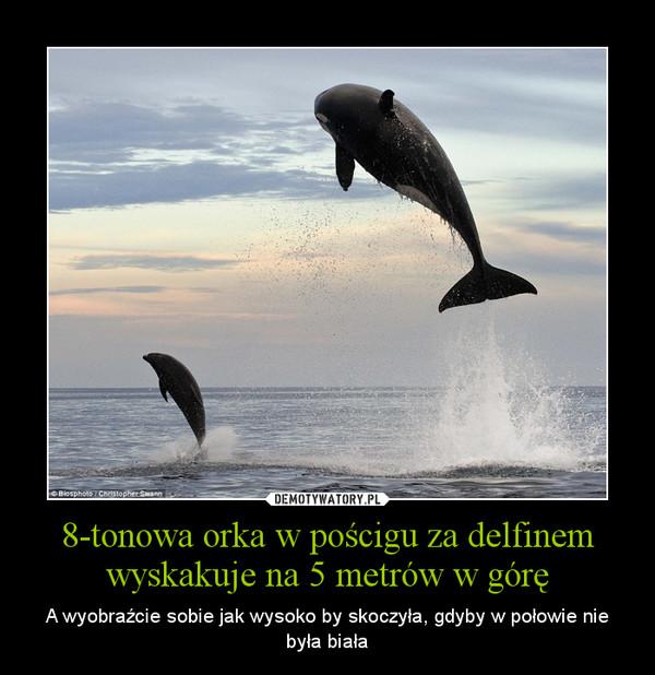 8-tonowa orka w pościgu za delfinem wyskakuje na 5 metrów w górę – A wyobraźcie sobie jak wysoko by skoczyła, gdyby w połowie nie była biała