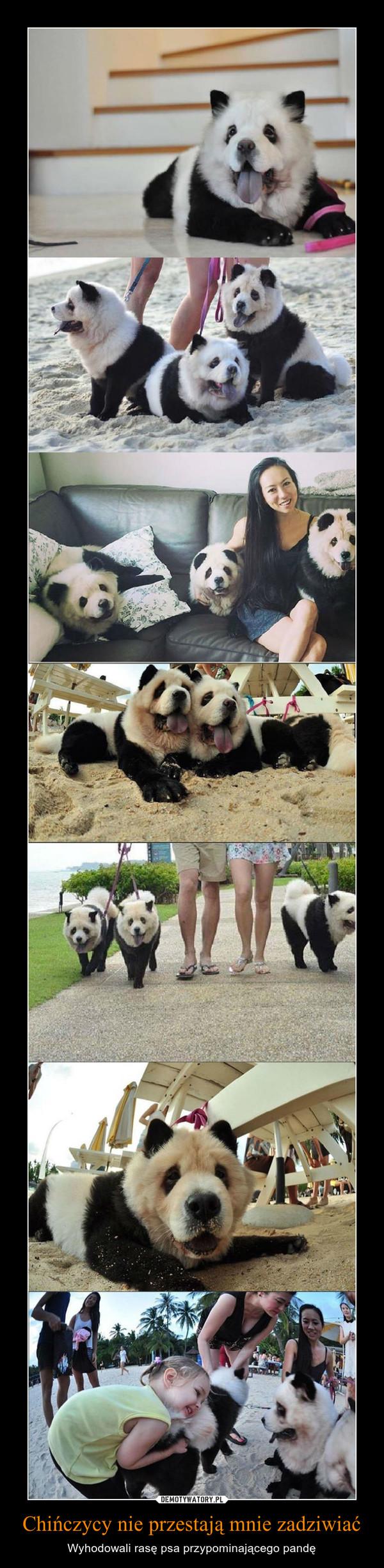 Chińczycy nie przestają mnie zadziwiać – Wyhodowali rasę psa przypominającego pandę