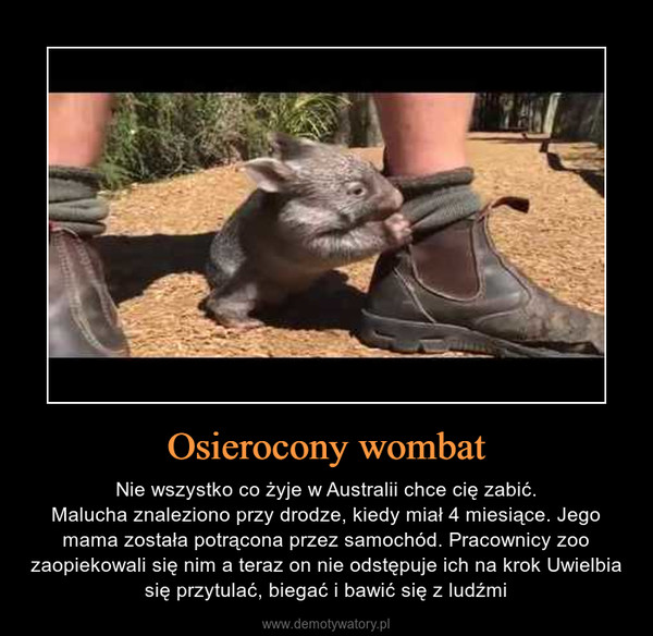 Osierocony wombat – Nie wszystko co żyje w Australii chce cię zabić.Malucha znaleziono przy drodze, kiedy miał 4 miesiące. Jego mama została potrącona przez samochód. Pracownicy zoo zaopiekowali się nim a teraz on nie odstępuje ich na krok Uwielbia się przytulać, biegać i bawić się z ludźmi