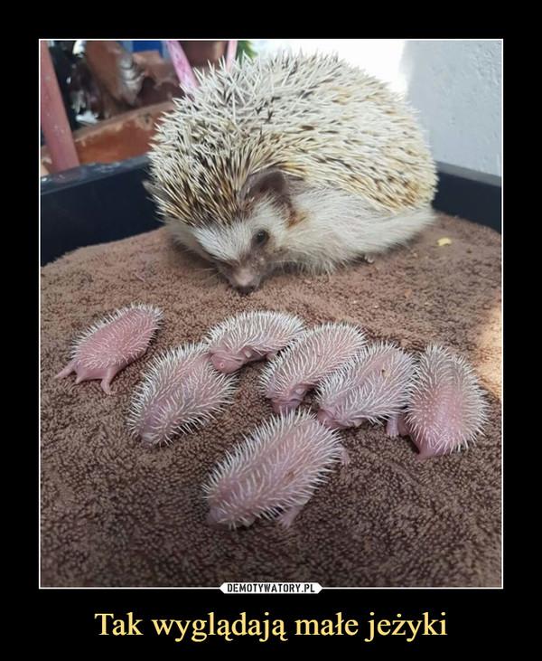 Tak wyglądają małe jeżyki –