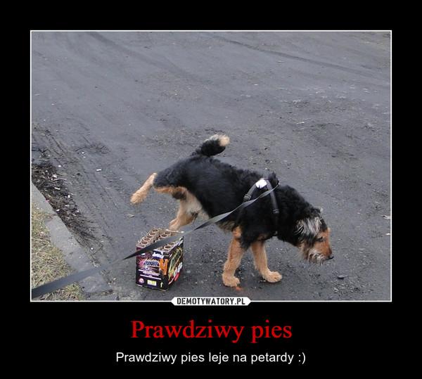 Prawdziwy pies – Prawdziwy pies leje na petardy :)