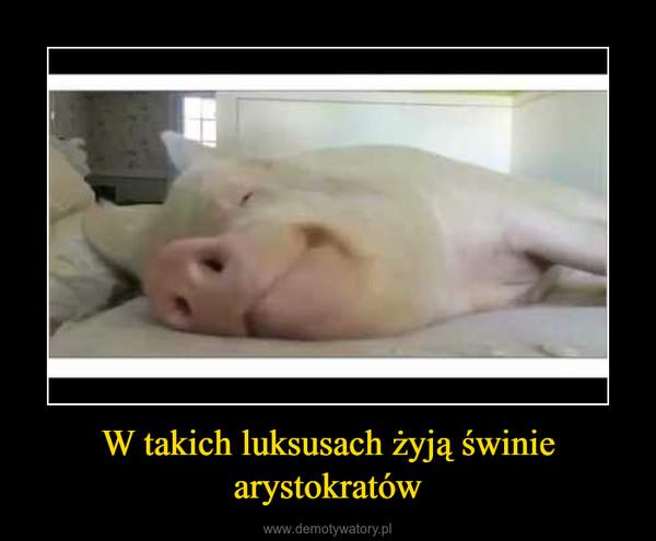 W takich luksusach żyją świnie arystokratów –