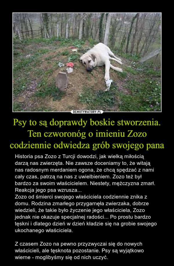 Psy to są doprawdy boskie stworzenia. Ten czworonóg o imieniu Zozo codziennie odwiedza grób swojego pana – Historia psa Zozo z Turcji dowodzi, jak wielką miłością darzą nas zwierzęta. Nie zawsze doceniamy to, że witają nas radosnym merdaniem ogona, że chcą spędzać z nami cały czas, patrzą na nas z uwielbieniem. Zozo też był bardzo za swoim właścicielem. Niestety, mężczyzna zmarł. Reakcja jego psa wzrusza...Zozo od śmierci swojego właściciela codziennie znika z domu. Rodzina zmarłego przygarnęła zwierzaka, dobrze wiedzieli, że takie było życzenie jego właściciela, Zozo jednak nie okazuje specjalnej radości... Po prostu bardzo tęskni i dlatego dzień w dzień kładzie się na grobie swojego ukochanego właściciela.Z czasem Zozo na pewno przyzwyczai się do nowych właścicieli, ale tęsknota pozostanie. Psy są wyjątkowo wierne - moglibyśmy się od nich uczyć.