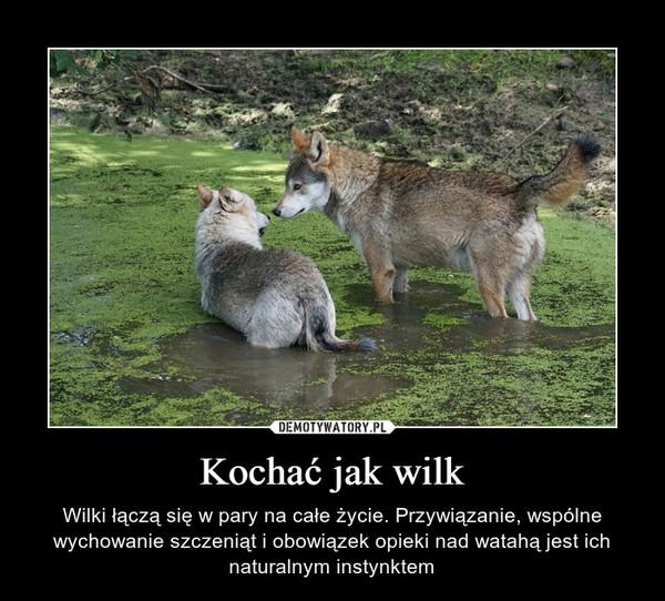 Kochać jak wilk – Wilki łączą się w pary na całe życie. Przywiązanie, wspólne wychowanie szczeniąt i obowiązek opieki nad watahą jest ich naturalnym instynktem