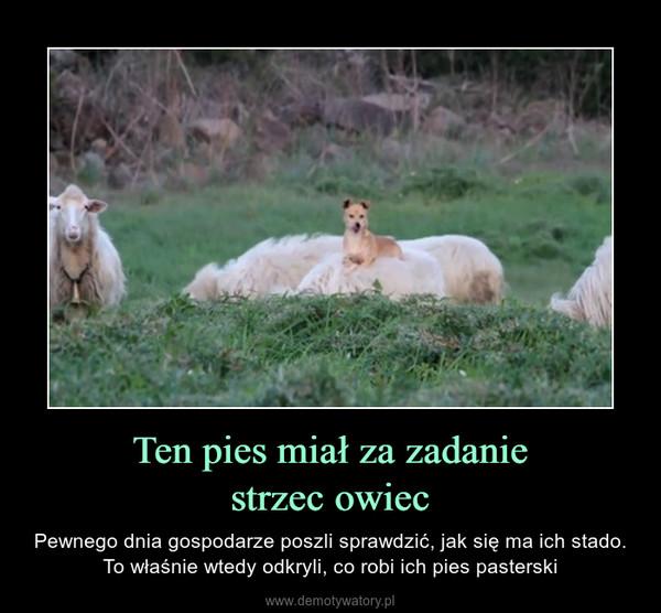 Ten pies miał za zadaniestrzec owiec – Pewnego dnia gospodarze poszli sprawdzić, jak się ma ich stado. To właśnie wtedy odkryli, co robi ich pies pasterski