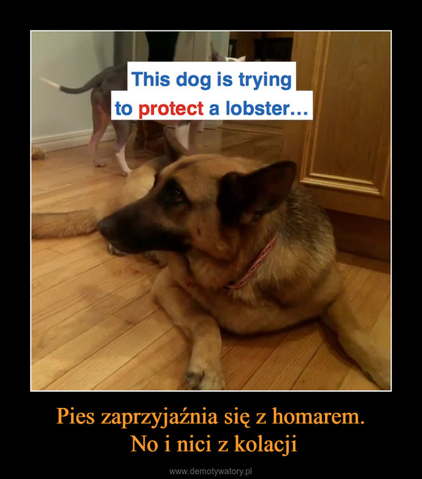 Pies zaprzyjaźnia się z homarem. No i nici z kolacji –