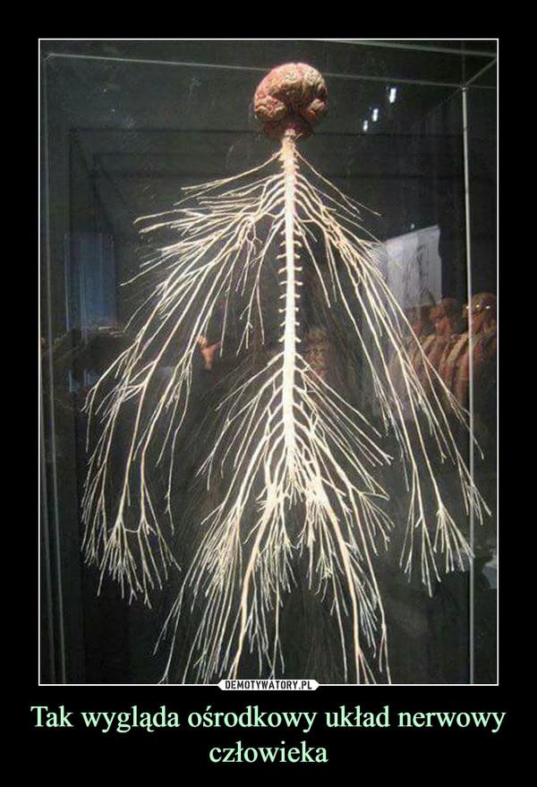 Tak wygląda ośrodkowy układ nerwowy człowieka –