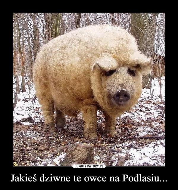 Jakieś dziwne te owce na Podlasiu... –