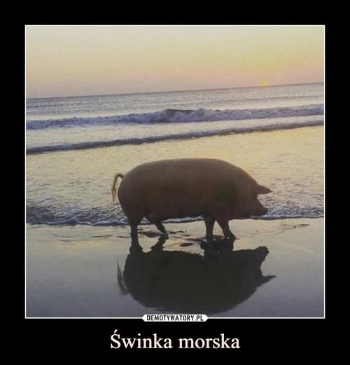 Świnka morska