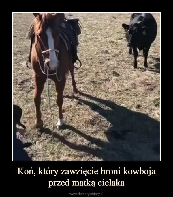 Koń, który zawzięcie broni kowboja przed matką cielaka –