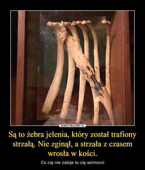 Są to żebra jelenia, który został trafiony strzałą. Nie zginął, a strzała z czasem wrosła w kości. – Co cię nie zabije to cię wzmocni