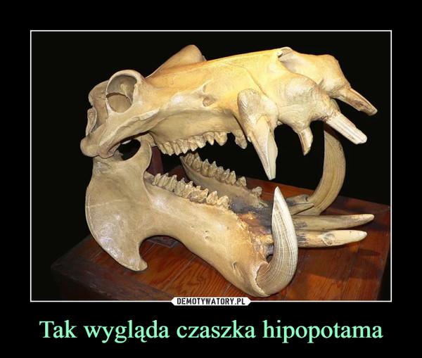 Tak wygląda czaszka hipopotama –