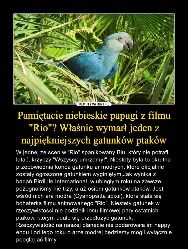 """Pamiętacie niebieskie papugi z filmu """"Rio""""? Właśnie wymarł jeden z najpiękniejszych gatunków ptaków – W jednej ze scen w """"Rio"""" spanikowany Blu, który nie potrafi latać, krzyczy """"Wszyscy umrzemy!"""". Niestety była to okrutna przepowiednia końca gatunku ar modrych, które oficjalnie zostały ogłoszone gatunkiem wyginiętym.Jak wynika z badań BirdLife International, w ubiegłym roku na zawsze pożegnaliśmy nie trzy, a aż osiem gatunków ptaków. Jest wśród nich ara modra (Cyanopsitta spixii), która stała się bohaterką filmu animowanego """"Rio"""". Niestety gatunek w rzeczywistości nie podzielił losu filmowej pary ostatnich ptaków, którym udało się przedłużyć gatunek. Rzeczywistość na naszej planecie nie podarowała im happy endu i od tego roku o arze modrej będziemy mogli wyłącznie pooglądać filmy"""