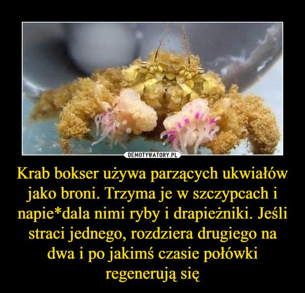 Krab bokser używa parzących ukwiałów jako broni. Trzyma je w szczypcach i napie*dala nimi ryby i drapieżniki. Jeśli straci jednego, rozdziera drugiego na dwa i po jakimś czasie połówki regenerują się –