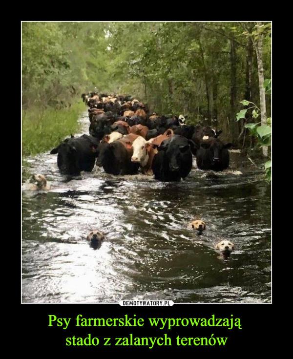 Psy farmerskie wyprowadzają stado z zalanych terenów –
