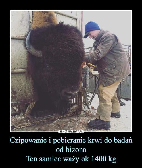 Czipowanie i pobieranie krwi do badań od bizona Ten samiec waży ok 1400 kg