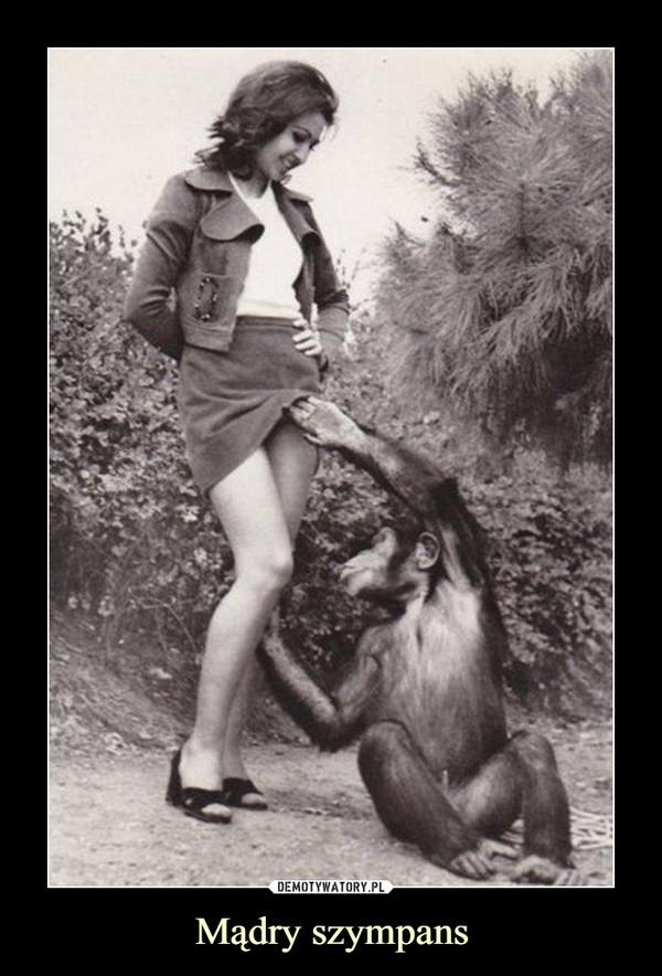 Mądry szympans –