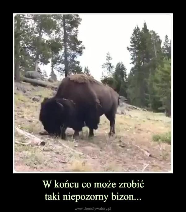 W końcu co może zrobićtaki niepozorny bizon... –