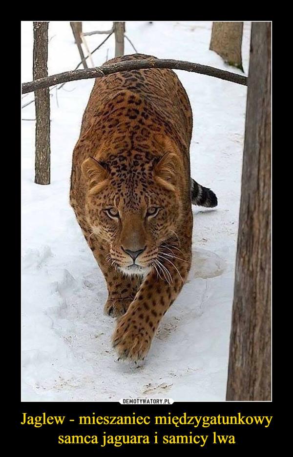 Jaglew - mieszaniec międzygatunkowy samca jaguara i samicy lwa
