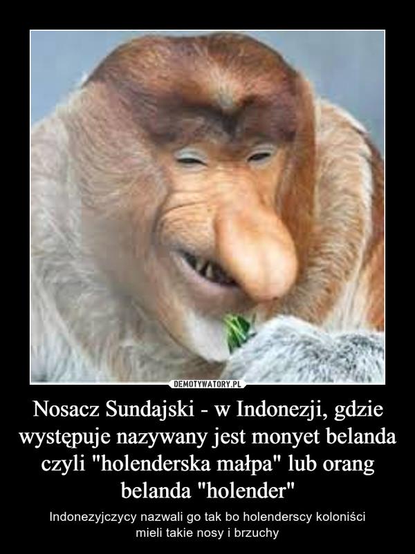"""Nosacz Sundajski - w Indonezji, gdzie występuje nazywany jest monyet belanda czyli """"holenderska małpa"""" lub orang belanda """"holender"""" – Indonezyjczycy nazwali go tak bo holenderscy koloniścimieli takie nosy i brzuchy"""