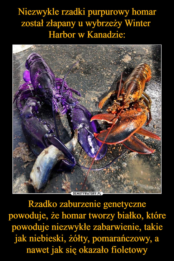 Rzadko zaburzenie genetyczne powoduje, że homar tworzy białko, które powoduje niezwykłe zabarwienie, takie jak niebieski, żółty, pomarańczowy, a nawet jak się okazało fioletowy –