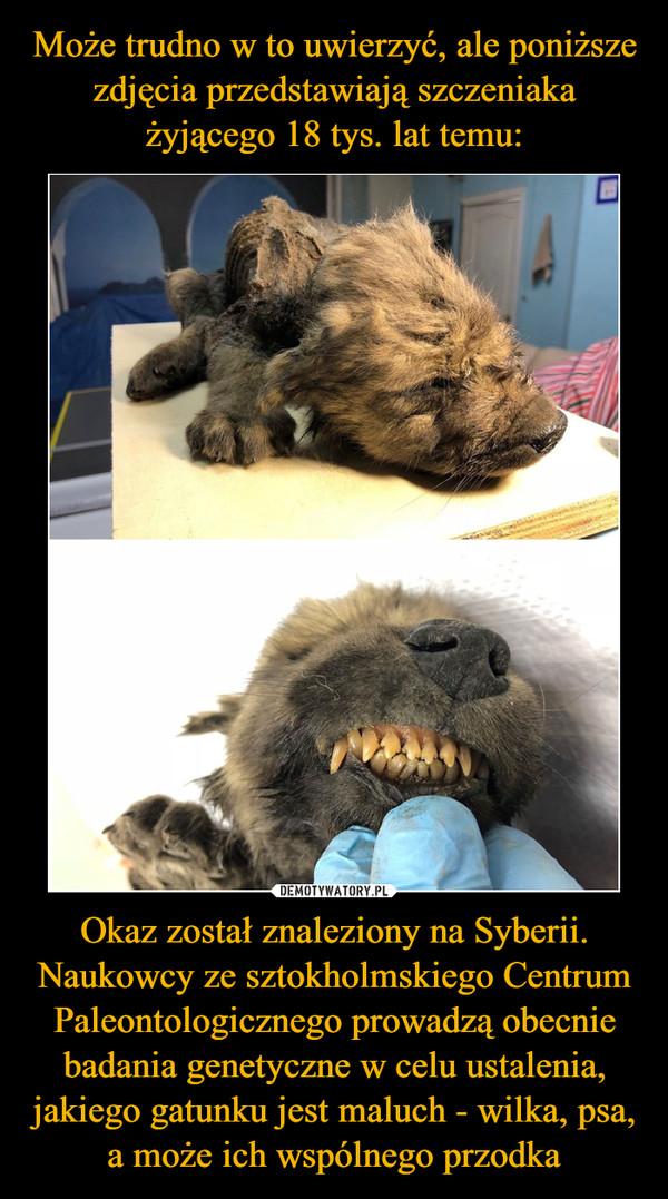 Okaz został znaleziony na Syberii. Naukowcy ze sztokholmskiego Centrum Paleontologicznego prowadzą obecnie badania genetyczne w celu ustalenia, jakiego gatunku jest maluch - wilka, psa, a może ich wspólnego przodka –