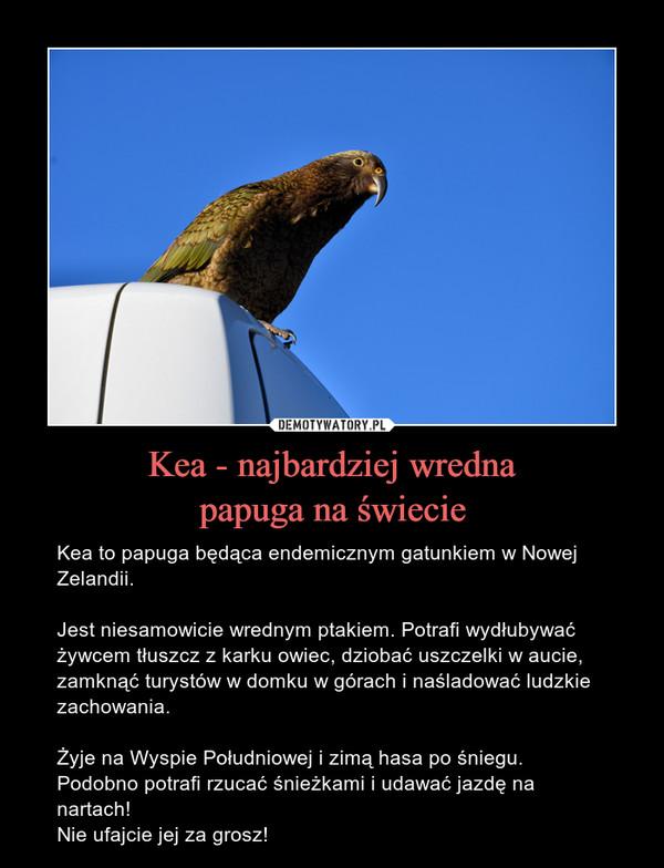 Kea - najbardziej wrednapapuga na świecie – Kea to papuga będąca endemicznym gatunkiem w Nowej Zelandii. Jest niesamowicie wrednym ptakiem. Potrafi wydłubywać żywcem tłuszcz z karku owiec, dziobać uszczelki w aucie, zamknąć turystów w domku w górach i naśladować ludzkie zachowania. Żyje na Wyspie Południowej i zimą hasa po śniegu. Podobno potrafi rzucać śnieżkami i udawać jazdę na nartach!Nie ufajcie jej za grosz!