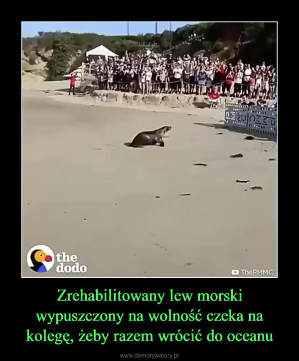 Zrehabilitowany lew morski wypuszczony na wolność czeka na kolegę, żeby razem wrócić do oceanu –