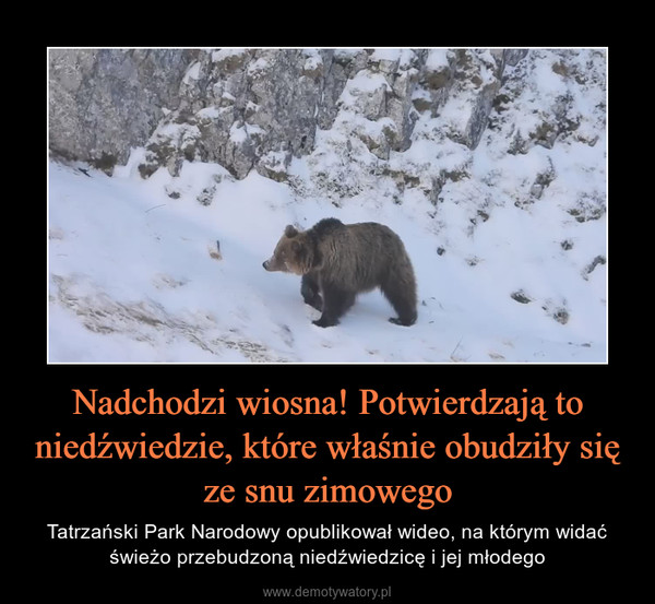 Nadchodzi wiosna! Potwierdzają to niedźwiedzie, które właśnie obudziły się ze snu zimowego – Tatrzański Park Narodowy opublikował wideo, na którym widać świeżo przebudzoną niedźwiedzicę i jej młodego
