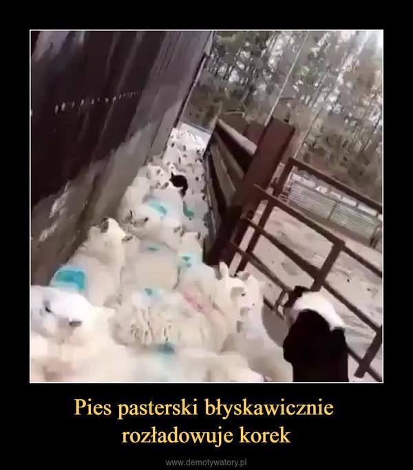 Pies pasterski błyskawicznie rozładowuje korek –