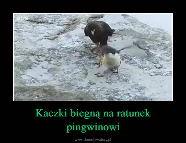 Kaczki biegną na ratunek pingwinowi –