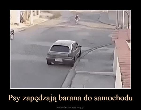 Psy zapędzają barana do samochodu –