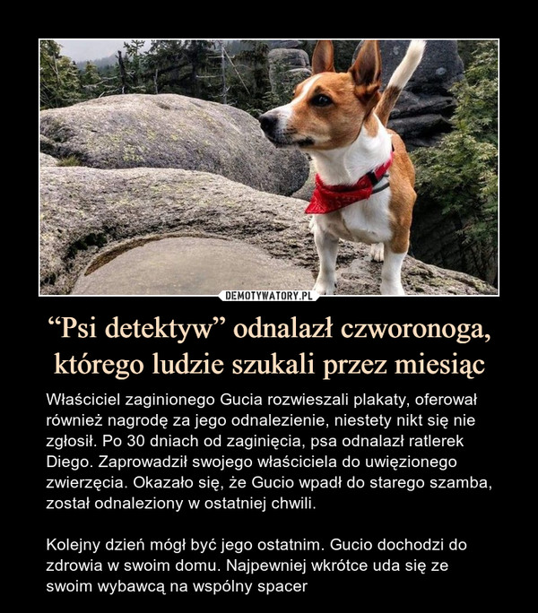 """""""Psi detektyw"""" odnalazł czworonoga, którego ludzie szukali przez miesiąc – Właściciel zaginionego Gucia rozwieszali plakaty, oferował również nagrodę za jego odnalezienie, niestety nikt się nie zgłosił. Po 30 dniach od zaginięcia, psa odnalazł ratlerek Diego. Zaprowadził swojego właściciela do uwięzionego zwierzęcia. Okazało się, że Gucio wpadł do starego szamba, został odnaleziony w ostatniej chwili.Kolejny dzień mógł być jego ostatnim. Gucio dochodzi do zdrowia w swoim domu. Najpewniej wkrótce uda się ze swoim wybawcą na wspólny spacer"""