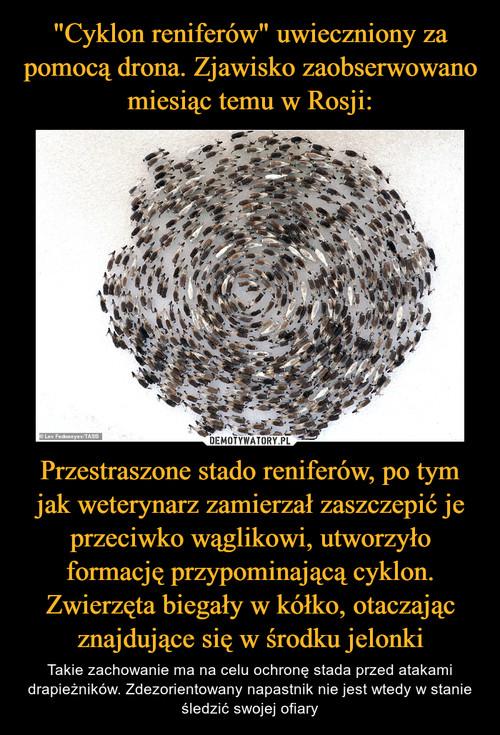 """""""Cyklon reniferów"""" uwieczniony za pomocą drona. Zjawisko zaobserwowano miesiąc temu w Rosji: Przestraszone stado reniferów, po tym jak weterynarz zamierzał zaszczepić je przeciwko wąglikowi, utworzyło formację przypominającą cyklon. Zwierzęta biegały w kółko, otaczając znajdujące się w środku jelonki"""