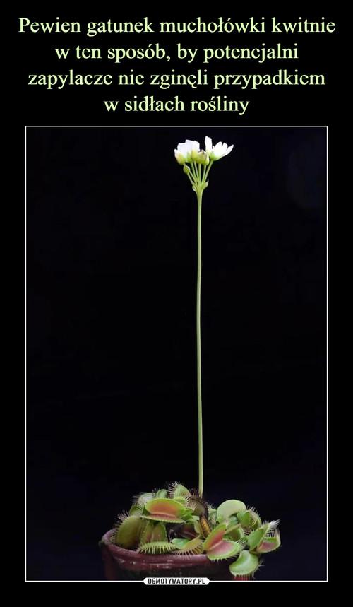 Pewien gatunek muchołówki kwitnie w ten sposób, by potencjalni zapylacze nie zginęli przypadkiem w sidłach rośliny
